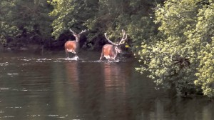 Stags in River